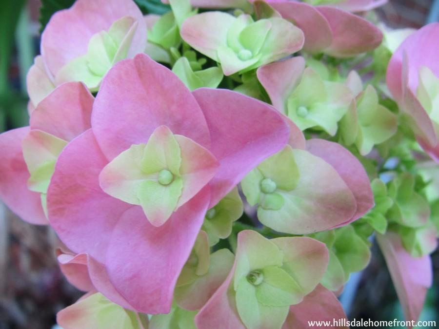 pinkhydrangea-900x675