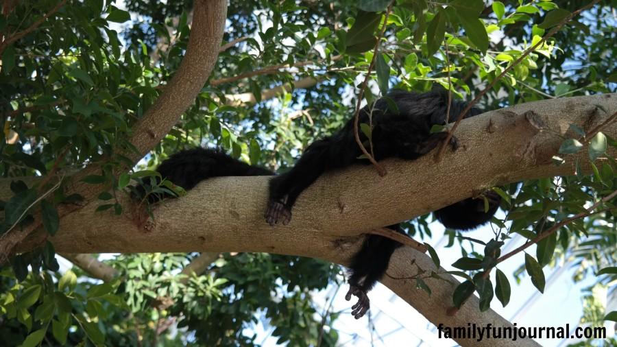 moody gardens monkey